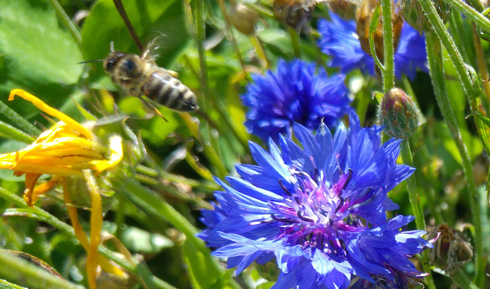 Bee flying away from cornflower