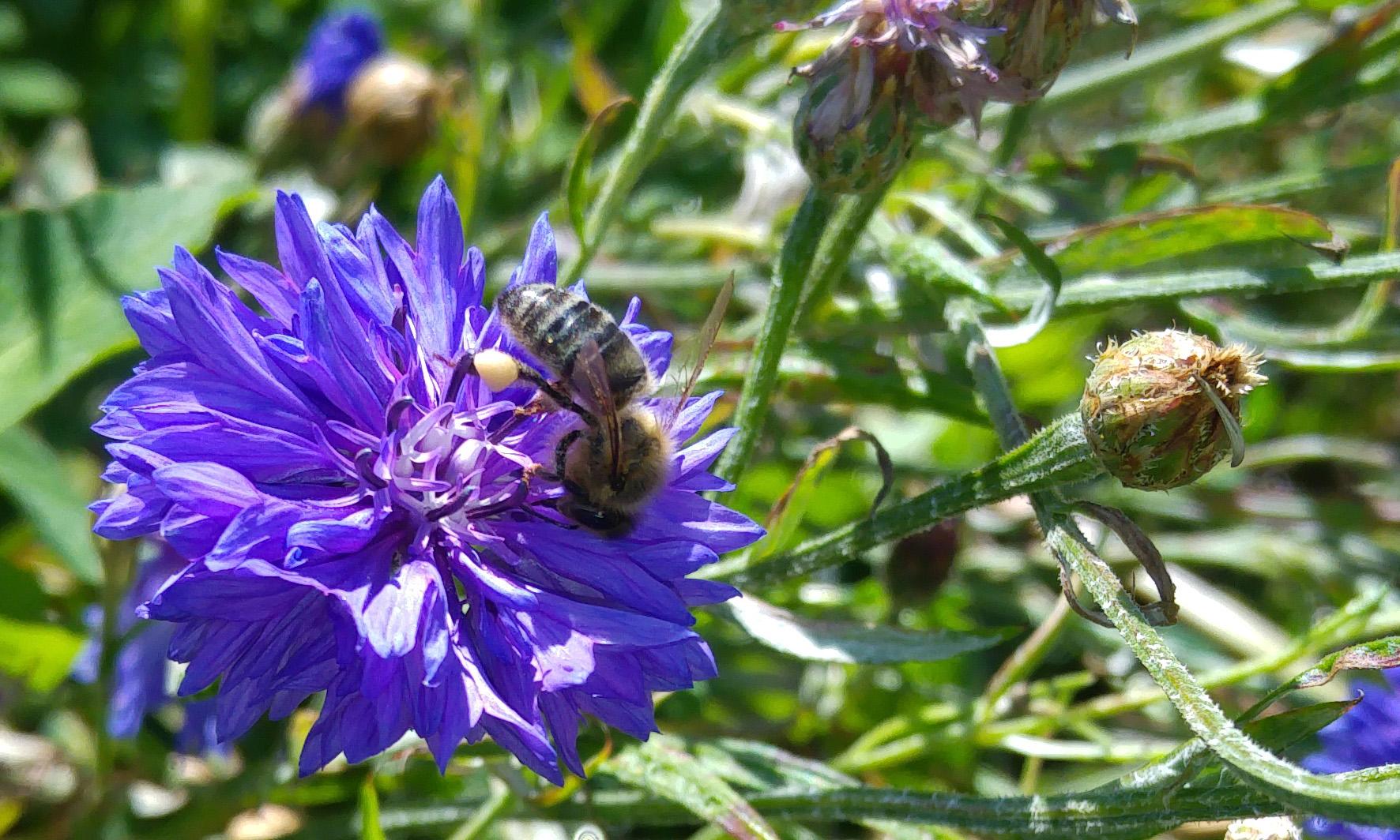 Bee feeding inside cornflower