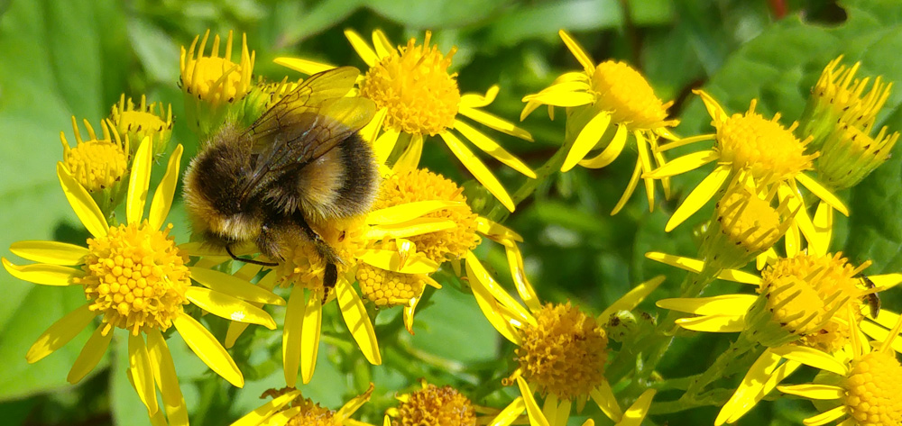 Bee on ragwort flower, the fluffiest and cuddliest bee ever