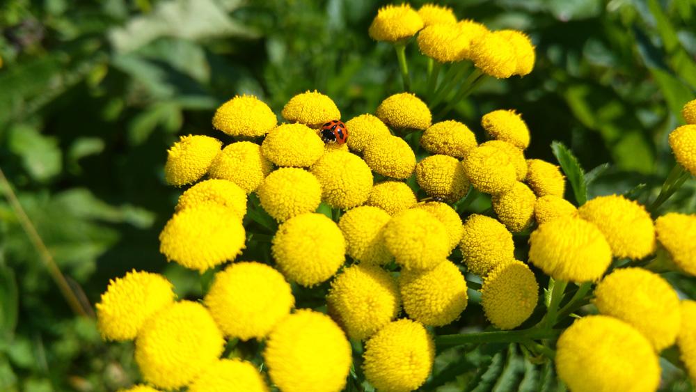 Wildlife garden tansy and ladybird